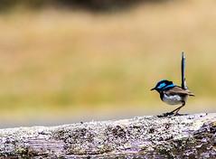 _MG_6389 (rojam1000) Tags: bird birds superb fairy finches bluefacedhoneyeater variegated wren rainbowlorikeet magpies rosellas redrumpedgrassparrots
