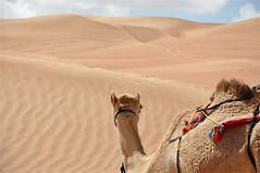 """You Want Me to Go Where??"" (The Spirit of the World) Tags: nature sand desert dunes middleeast camel oman sanddunes desertlandscape wahibasands desertscene arabianpeninsula rememberthatmomentlevel4 rememberthatmomentlevel1 rememberthatmomentlevel2 rememberthatmomentlevel3 globalaward2014"
