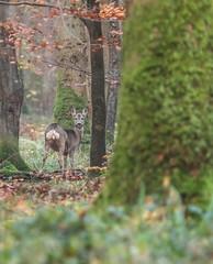 Un soupon d'automne (Eric Penet) Tags: france animal automne novembre fort nord chevreuil mammifre sauvage femelle avesnois mormal chevrette locquignol