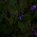 mertensia virginica, ouryard, jdy104 XX200904146537.jpg