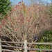 American Cranberry Bush (Viburnum trilobum)