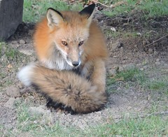 Renard - Fox......28 nov 2014......DSCN15311 (Diane.G.) Tags: renard fox animals specanimal naturescarousel thesunshinegroup dmslair sacrednature flickrdiamond diamondclassphotographer citrit sunrays5 animalsworldlevel1 coth damniwishidtakenthat goldwildlife1 myhatsofftoyou ngc naturesgoldencarousel eblouissantenature mothernature coth5 supershot faunafloragroup ayezloeil alittlebeauty treasuresofkeepyoureyesopen fantasticnature npc damnfinepicture bestofdamn e photossansfrontières lapetitegalerie realbutee naturesplatinumcarousel collectionparimpatience mesfavoriscoupdecoeur ourwonderfulandfragile saariysqualitypictures solidarityagainstcancer livingjewelsofnature preciouslivingjewelsofnature memberschoice