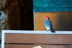 Red-crested Cardinal (Paroaria coronata) (Chasing Photons) Tags: vacation bird birds hawaii nikon cardinal oahu wildlife charles disney wait redcrestedcardinal paroariacoronata d4s aulani nikond4s cewait chasingphotons