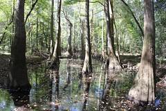 Giant trees thrive flood, swampa (daveynin) Tags: trees reflection nps swamp boardwalk wetland congaree baldcypress deaftalent deafoutsidetalent deafoutdoortalent