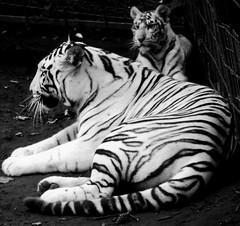 White Tigers (Leonce Markus) Tags: blackandwhite white black animal zoo noir noiretblanc tiger blanc tigre beauval tigreblanc blackandwhiteonly