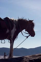 Far west mood [Java, Indonesia] (Melvinia_) Tags: horses horse animal canon indonesia cheval 50mm volcano java nationalpark asia southeastasia caldera asie f71 jawa bromo semeru tengger chevaux batok caldeira indonsie eastjava asiedusudest canoneos450d bromotenggersemeru javaoriental