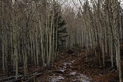 The Trail, Splatter Canyon Hike, 13 November 2014 (Bob Palin) Tags: winter 15fav usa 1025fav 510fav utah 100v10f nationalforest trail aspen wintry fishlake club100 100vistas instantfave orig:file=2014111322453adjust1024 mytogemountain splattercanyon