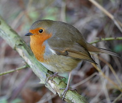 Robin (Seymour1966) Tags: robin naturereserve coventry a45 brandonmarsh