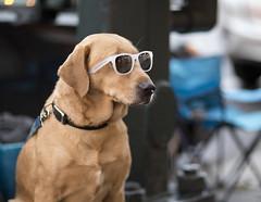 3171 Golden Retriever with Sunglasses (eyepiphany) Tags: dog dogs goldenretriever canine coolkatdog goldenretriverwithsunglasses cerebraldog jazzcatdoggie