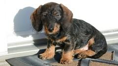 Mokkers Qaren (Kenneth Gerlach) Tags: puppy miniature dachshund wirehaired hund dackel hvalp husdyr gravhund hundchen ruharet
