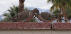 Love Birds (gaymay) Tags: california gay love wall happy desert palmsprings fair doves triad