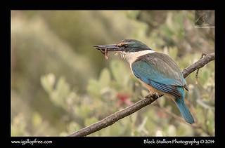 Sacred Kingfisher 12