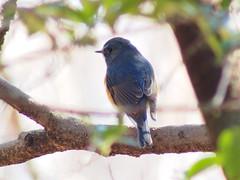 ルリビタキ (Polotaro) Tags: bird nature pen olympus 自然 zuiko 鳥 12月 ペン 野鳥 オリンパス ルリビタキ ズイコー fzuiko300mmf45 epm2 デジタルテレコン