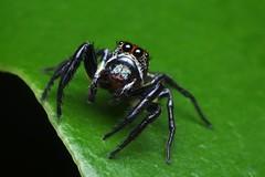 Red and Green Jumper (#4) (Doundounba) Tags: macro nature topf25 mexico spider pentax mexique rivieramaya jumpingspider araigne k3 272e salticidae dcr250 raynox thiodina salticide grandsirenis mayanbeach tamronspdi90mmf28