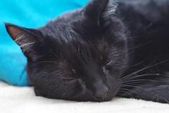 Sleeping Casimir (frankbehrens) Tags: cats tom cat chats chat gatos gato katze katzen kater pentaxks2