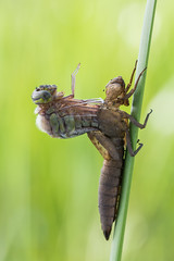 Birth of The Dragon (Prajzner) Tags: morning macro nature insect nikon dragonfly sigma naturallight manfrotto odonata insecta anisoptera sigma105mmmacro subcarpathia hairydragonfly brachytronpratense macrodreams nikond3100 nikond7100 manfrottomt190xpro3