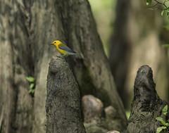 Prothonotary Warbler (Zone~V) Tags: tree canon is kentucky birding may kos canoe 300mm chuck cypress knees henderson porter wma f4l sloughs protonotaria citrea 60d parulidea