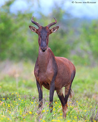 Old Funny Face (leendert3) Tags: sunrays5 tsessebeantelope