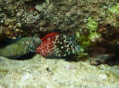 short bodied blenny (Skeptic14) Tags: bay diving maui snorkeling kapalua blenny