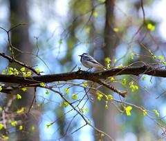 Little bird in the colorful world (Varvara_R) Tags: park bird weather spring sunny sunnyday