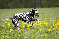 Blder Lwenzahn (blumenbiene) Tags: dog white playing black game dogs female walking fun meadow wiese hund schwarz dalmatian hunde spaziergang spielen dalmatiner weis hndin