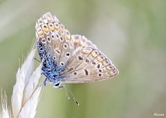 Polyommatus icarus (sam_thanasis) Tags: blue lepidoptera greece macedonia common polyommatusicarus polyommatus vrasna