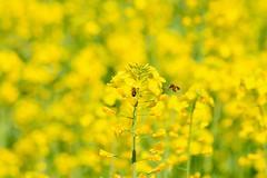 abeilles (assis sur le rebord du monde...) Tags: voyage travel canon plante de champs roadtrip montpellier des end week friday tgif cahors occitanie profondeur moutarde 70d