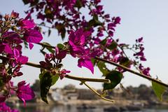 IMG_5706 (cpt_ahmed93) Tags: flower nature magenta aswan nileriver