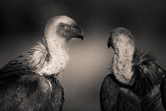 Griffon Vultures (Daniel Trim) Tags: nature birds photography spain europe wildlife birding vulture iberia griffon iberian hides gyps fulvus calera