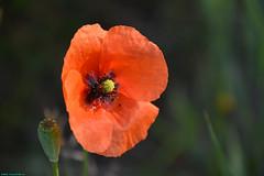 Flowers on the Sundaymorning. (PhotoTJH) Tags: flowers plants plant flower macro nature colors natuur planten bloemen gsm bloem kleuren westzaan guisveld westzaannoord phototjh phototjhnl