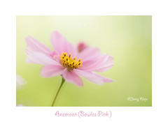 Meervoudige belichting/Out of Focus (Janny.K) Tags: flowers flower nature ngc outoffocus depthoffield serene simplyflowers sarasgarden flickrtoday zoomnl canonphotography dutchnature sosimplesobeautiful canon6d photofacts artgrowninnature simplyflowersnewcontest