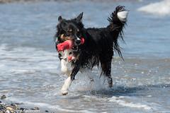 FAN_5713.jpg (Flemming Andersen) Tags: dogs water denmark seaside spring hund dk hurup nykbingmors northdenmarkregion