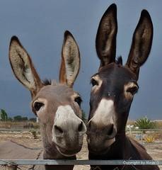 Cleopatra & Isis * . P1200946-001 (Maya HK - On and Off) Tags: animals tiere flickr donkeys animales isis burros esel cleopatra 2010 panasonicfz28 180516 copyrightbymayawaltihk
