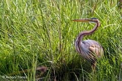Agro roig (Ardea purpurea) (vfr800roja) Tags: espaa natura girona catalunya es ocells emporda aiguamolls ardeapurpurea castelldempries agroroig