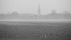 Geese gathering (andzwe) Tags: winter mist netherlands fog nederland meadow ganzen gees newyearsday steenwijk 2016 anseralbifrons nieuwjaarsdag whitefrontedgeese verzamelen steenwijkertoren groteofstclemenskerk panasoniclumixdmcgh4