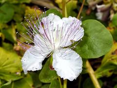 Kappar (Maximus DiFermo) Tags: flower flora malta maximus caper difermo