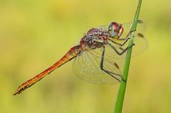flechita natural (Santi BF) Tags: macro closeup bug insect dragonfly bicho liblula insecte insecto sympetrumfonscolombii libllula