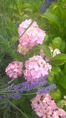 hortenzija (jazavaclujo1) Tags: enz