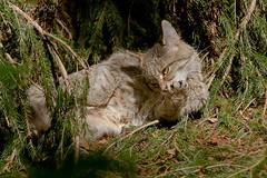 Wildkatze (AchimSchmidt) Tags: bayerischerwald bayerwald wildkatze