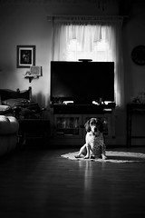 Courage the Beagle (HeavenridgeFilms) Tags: dog cute beagle zeiss puppy dof sony sharp indoors 55mm moment f18 a7rii