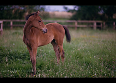 Masters_foal16 (PhotoXL) Tags: horses nikon sigma summerevening thoroughbred foal 85mmf14 nikond700 thoroughbredstallion masterofthehorse sigma85mmf14exdghsm sigma85mmf14dghsm grangeequineveterinaryclinic