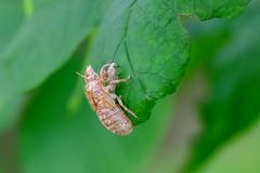 Shed Skin (Exuviae) of Magicicada (17-year Cicada, Brood V) (magicnature) Tags: cicada skin shed v brood 17year magicicada exuviae