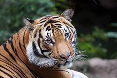 Eye Contact (greekgal.esm) Tags: california animal cat mammal feline sandiego sony tiger bigcat cinta sandiegozoo balboapark carnivore sdz malayantiger sal70300g endextinction a77m2 a77mii