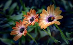 Orange African Dasies (ladyinpurple) Tags: pspxi photofiltre flamingpear cubetile africandaisy orange osteospermum