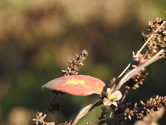 The last red leaf (Glaidson Verzeletti) Tags: red brazil macro nature leaf nikon coolpixp900