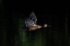 _F0A2829.jpg (Kico Lopez) Tags: birds rio spain aves galicia lugo mio anasplatyrhynchos anadeazulon