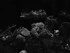 Aquarium Noir 6 (AHummons Photography) Tags: light blackandwhite bw fish chicago home water monochrome coral photography aquarium low salt reef saltwater blackandwhitephotography saltwaterfish saltwatertank