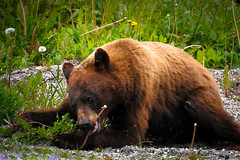 Afternoon Snack (valerie.toalson) Tags: skagway alaska yukon brownbear