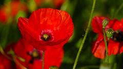 Red (Yasmine Hens) Tags: red rouge europa flickr belgium ngc poppy coquelicot namur hens yasmine wallonie iamflickr flickrunitedaward hensyasmine