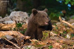 Brown bear 3 - Slovenia (Sinar84 - www.captures.ch) Tags: 2016 animal bear black blue brown brownbear cliff europa juni karst kocevska notranjska notranjskaregionalpark orange red rock slovenia slovenianbearscom summer trees white